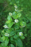Flowering Spearmint. A spearmint plant flowering in the summertime Royalty Free Stock Images