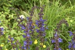 Blue purple flowers of Salvia pratensis. Flowering spikes of Salvia pratensis plant stock images