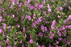 Flowering spiny restharrow  (Onosis spinosa) Stock Photos