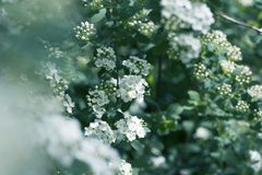 Flowering spiraea or meadowsweet. Branches with white flowers. Close-up spiraea flower. Spring flowering of the decorative bush stock image