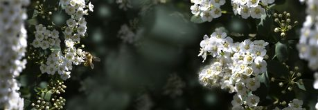 Flowering spiraea or meadowsweet. Branches with white flowers. Close-up spiraea flower. Spring flowering of the decorative bush royalty free stock photography