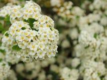 Flowering spirea bushes close-up. Background stock images