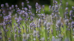 Flowering sprigs of lavender stock footage