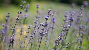 Flowering sprigs of lavender stock footage