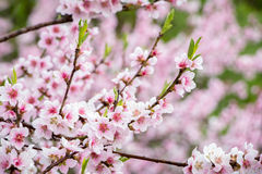 Flowering spring almond tree Royalty Free Stock Images