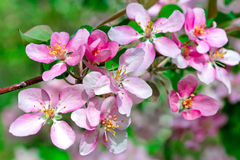 Flowering spring branch of apples Royalty Free Stock Photography