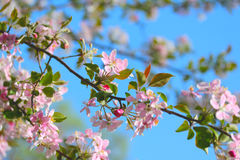 Flowering spring branch of apples Royalty Free Stock Photos