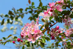 Flowering spring branch of apples Royalty Free Stock Image