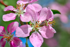 Flowering spring branch of apples Stock Images