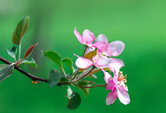 Flowering spring branch of apples Stock Photo