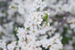 Flowering spring branches Royalty Free Stock Image