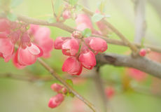 Flowering in spring - Budding bud Royalty Free Stock Photography