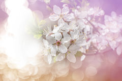 Flowering spring cherry tree with dreamy atmosphere Stock Photo