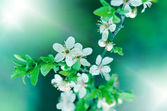 Flowering in spring Royalty Free Stock Photo
