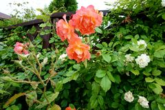 Flowering in spring in the garden coral roses stock image