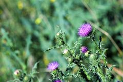 Pink milk thistle flower in bloom in spring Royalty Free Stock Photo
