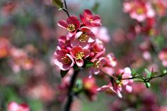 Flowering in the spring orchards Royalty Free Stock Photos