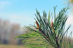 Flowering spring pine branches closeup stock photo