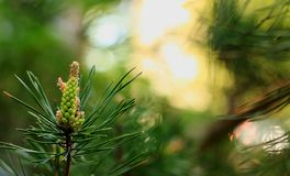 Flowering spring pine branches stock image