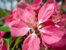 Flowering in spring time. Royalty Free Stock Photo