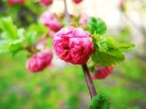 Flowering in spring time. Stock Image