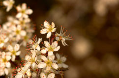 Flowering Spring Tree Stock Photography