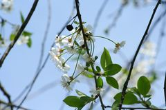 Flowering spring tree. A branch of blossoming cherry on a blue sky. Background royalty free stock photos