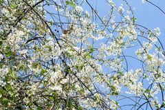 Flowering spring tree. A branch of blossoming cherry on a blue sky. Background royalty free stock images