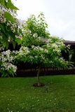 Flowering in the spring tree branch `catalpa` royalty free stock photos