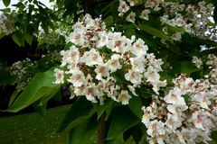 Flowering in the spring tree branch `catalpa` royalty free stock photo