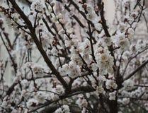 Flowering Spring Tree - white flowers. Flowering Spring Tree, natural view stock photos