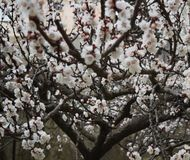 Flowering Spring Tree - white flowers. Flowering Spring Tree, natural view Stock Images