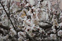 Flowering Spring Tree - white flowers. Flowering Spring Tree, natural view Stock Photography