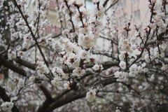 Flowering Spring Tree - white flowers. Flowering Spring Tree, natural view royalty free stock image