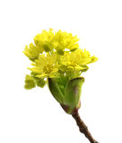 Flowering spring twigs of maple tree Royalty Free Stock Images