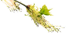 Flowering spring twigs of maple tree with young leaves in wind Royalty Free Stock Photography