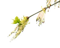 Flowering spring twigs of maple tree with young leaves in wind Royalty Free Stock Photos