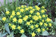 Flowering spurge bush Stock Photos