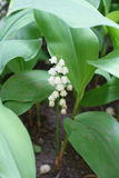 Flowering stem with raceme of flowers of Convallaria. Flowering stem with raceme of white flowers of Convallaria Stock Images