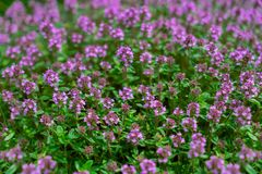 Flowering stems of thyme. Green royalty free stock photos