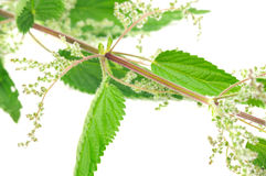 Flowering Stinging Nettle (Urtica Dioica). A male flowering stinging nettle (urtica dioica) on a white background royalty free stock photos