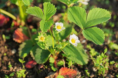 Flowering strawberries in the garden. Stock Photography