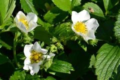 Flowering strawberries in the garden. Stock Images