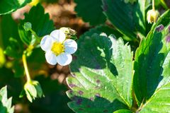 Flowering strawberries. white flowers, strawberry bushes in spring. spring nature and berries.  royalty free stock images