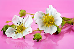 Flowering strawberry Royalty Free Stock Images
