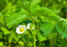 Flowering strawberry Royalty Free Stock Photography