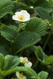 Flowering strawberry garden Royalty Free Stock Photos