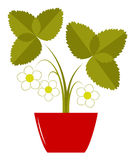 Flowering strawberry in pot Stock Image