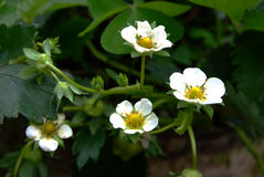 Flowering strawberry. Strawberries, among the most widely grown fruit in home gardens, all begin their lives as delicate white flowers on strawberry plants Stock Photos