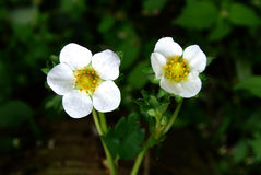 Flowering strawberry. Strawberries, among the most widely grown fruit in home gardens, all begin their lives as delicate white flowers on strawberry plants Stock Photo
